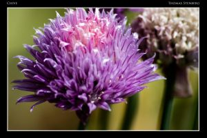 Chive by tomba76