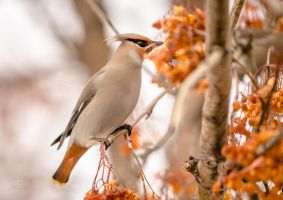 Bohemian Waxwing - Berry Feast by JestePhotography