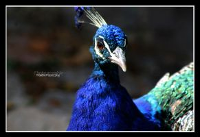 peacock portrait by declaudi