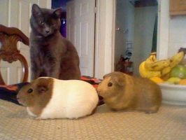 Guinea Pigs by NommieCow