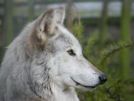 Wolf Portrait Stock 2 by Clickitysnip-Stock