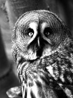 Gray Owl by Shadow-and-Flame-86