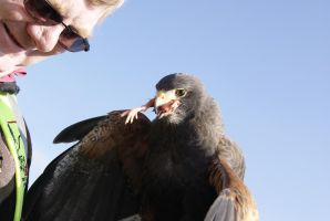 Harris Hawk 3 by Snowys-stock