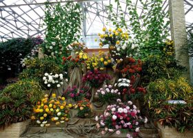 Chrysanthemums by Kitty-Amelie