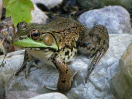 Frog 1: stock by Lythre-does-photos