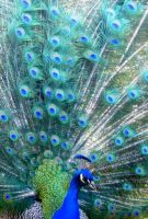 peacock by star37luminaire