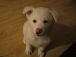 Our white akita puppy Pyry by OokamiSusi