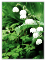 Lilly of the Valley by tigerlily88