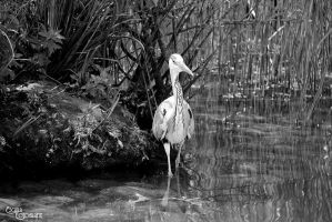 Grey Heron - Graureiher by Escara40