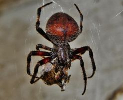 Orb Weaver wrapping a meal by Stone1980