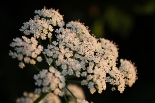 Daucus carota - Queen Anne's lace by CBKphotos