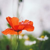 .: Summers last Poppy :. by Frank-Beer