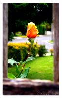 Flower in the fence by Natamalie