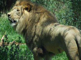 Lion on the ground 2 by dtf-stock