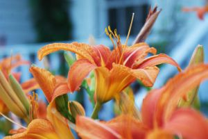 Tiger Lillies by HrWPhotography