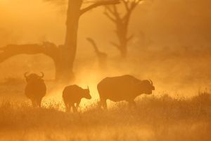 buffaloes at sunrise by serhatdemiroglu