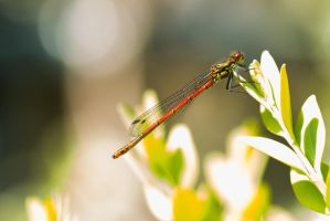 :: Red Dragonfly :: by AmyranthPhotography