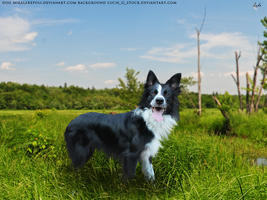 Border Collie by Subaru09