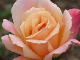 Autumn Roses 17 by Jyl22075