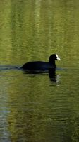 Coot by graphic-rusty