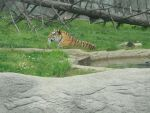 Amur Tiger by MidnightTheCat