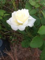 White Rose by DarkGoth100