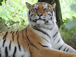 Tschuna Amur Tigress Yorkshire Wildlife Park by bellesprince