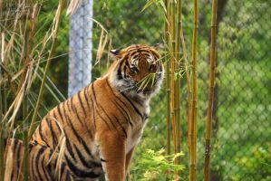 Malayan Tiger 54 by HarbingerPhotography