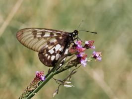 Glasswing by ooshling
