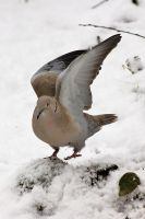 Showing how beautiful a pidgeon can be! by JetteReitsma