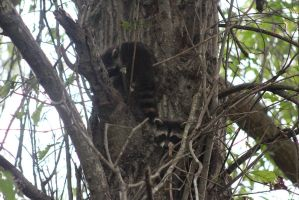 Peeping Coons by eillahwolf