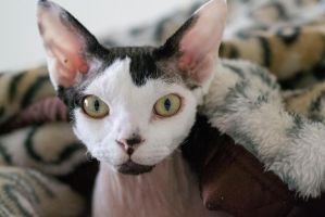 Devon Rex Cat by bodypillow