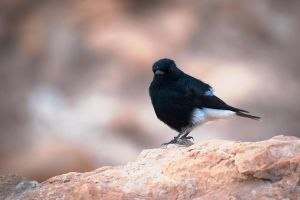 Black Wheatear by rat-or-rat