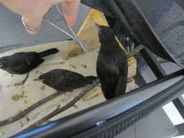 Feeding Young Grackles 5 by Windthin