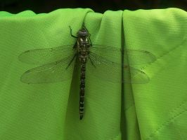 Dragonfly by CarlaArlecchino