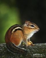 Chipmunk by RobAndersonJr