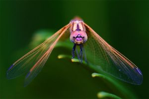 Colourful Dragonfly by AzureSnow