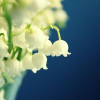 lily of the valley II by xmagdax