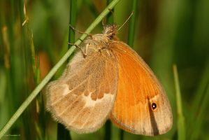 Common Ringlet Butterfly 2010 by natureguy