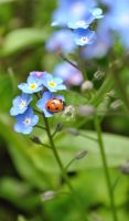 Forget Me Nots by MaePhotography2010