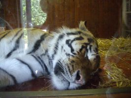 Colchester Zoo photos 12 by pan77155