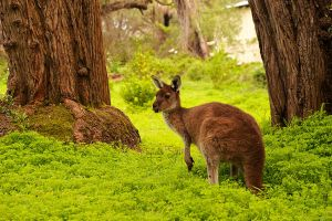 Western Grey Kangaroo by JoycelynSiew