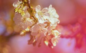 Blossom by kate-photo