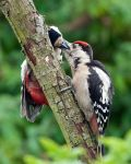 Great Spotted woodpecker by pixellence2
