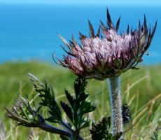 Godrevy Cornwall fly on thistle by lou250blue