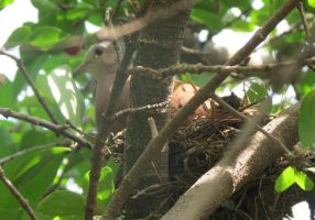 Turtledove in her nest by AnaTaffy