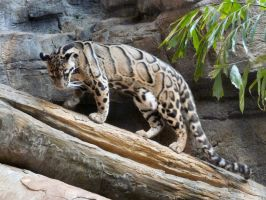 Clouded Leopard VIII by Jisei