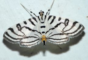 Conchylodes ovulalis - Zebra Conchylodes by duggiehoo