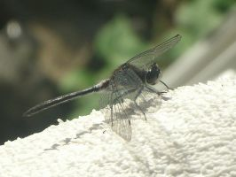 Dragonfly Pic by spagetti-sauce