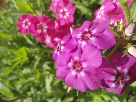 PHLOX by GudServo